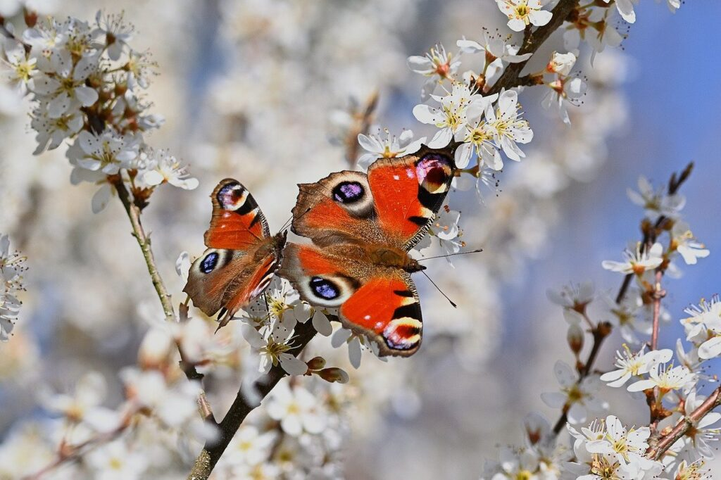butterflies, peacock butterfly, flowers