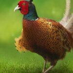 pheasant, bird, plumage