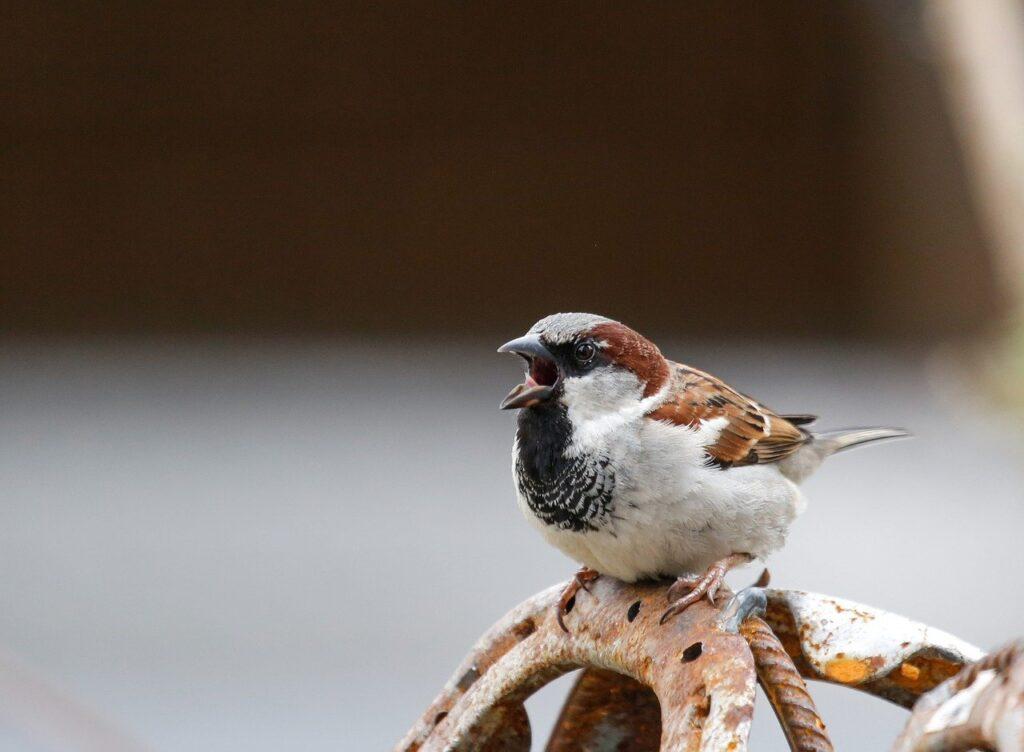 sparrow, bird, metal