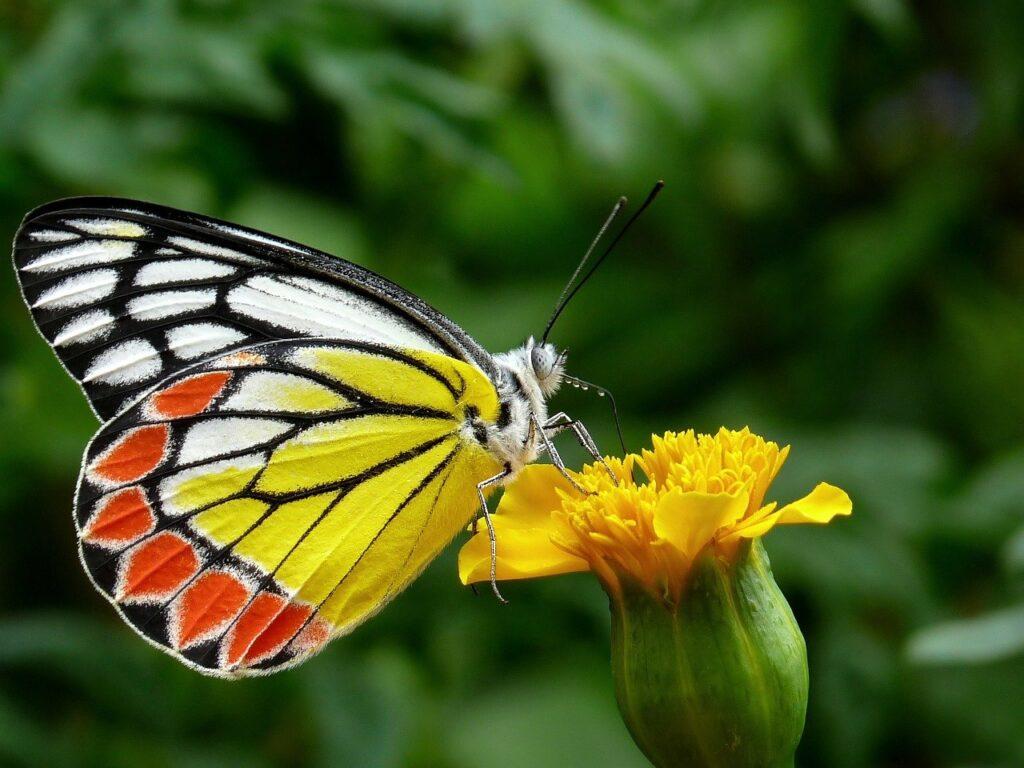 butterfly, common jezebel, flower-85628.jpg